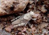 Trimerotropis pallidipennis; Pallid-winged Grasshopper nymph