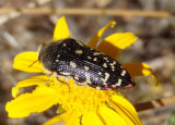Acmaeodera rubronotata; Metallic Wood-boring Beetle species