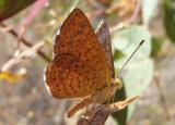 Calephelis arizonensis; Arizona Metalmark