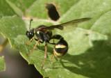 Eumenes Potter Wasp species