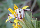 Misumenoides formosipes; Whitebanded Crab Spider