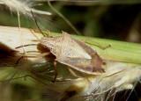 Oebalus mexicanus; Stink Bug species