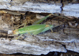 Oecanthus texensis; Texas Tree Cricket; female