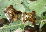 Plagiometriona clavata; Clavate Tortoise Beetles