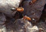 Dorymyrmex bicolor; Bi-colored Pyramid Ants