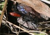 Podalonia Cutworm Wasp species; female