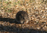 Arizona Cotton Rat