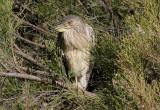 Black-crowned Night-Heron; immature