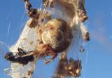 Metepeira Orbweaver species