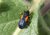 Microrhopala rubrolineata; Leaf Beetle species