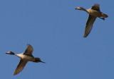 Northern Pintail pair