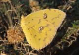 Phoebis sennae; Cloudless Sulphur; female