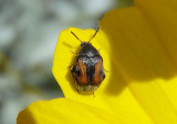 Stator limbatus; Seed Beetle species