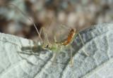 Zelus renardii; Leafhopper Assassin Bug nymph