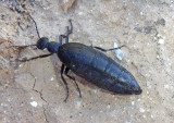 Meloe dugesi; Oil Beetle species