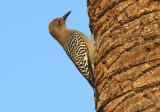 Gila Woodpecker; male
