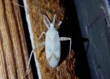 Phytocoris Plant Bug species