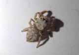 Habronattus signatus; Jumping Spider species