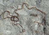 Gordioidea Horsehair Worm species