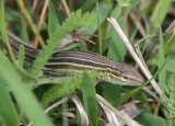Six-lined Prairie Racerunner; male