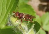 Myopa Thick-headed Fly species