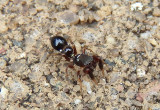 Peckhamia Antlike Jumping Spider species