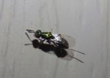 Torymus Chalcid Wasp species; female