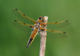 Libellula quadrimaculata; Four-spotted Skimmer