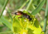 Aritranis director; Ichneumon wasp species; female