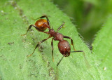 Aphaenogaster tennesseensis; Spine-waisted Ant species