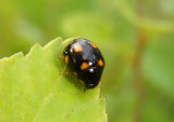 Brachiacantha Lady Beetle species