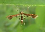 6092 - Geina tenuidactylus; Himmelman's Plume Moth