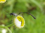 Ophionellus foutsi; Ichnuemon Wasp species; female