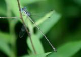 Lestes rectangularis; Slender Spreadwing; male