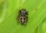 Phidippus clarus; Jumping Spider species; female