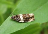 2823 - Olethreutes fasciatana; Banded Olethreutes Moth