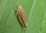 Idiodonus kennecottii; Leafhopper species