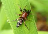 Sergiolus capulatus; Ground Spider species