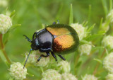 Chrysolina auripennis; Leaf Beetle species
