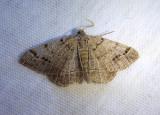 6419 - Isturgia dislocaria; Pale-veined Isturgia Moth