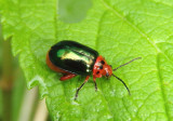 Kuschelina gibbitarsa; Flea Beetle species