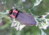 Podabrus tricostatus; Soldier Beetle species