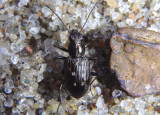 Bembidion inaequale; Ground Beetle species