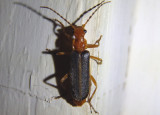 Podabrus Soldier Beetle species