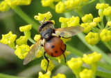 Gymnosoma Tachinid Fly species