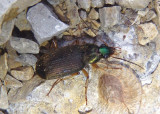 Chlaenius tricolor; Vivid Metallic Ground Beetle species