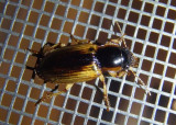 Anisodactylus discoideus; Ground Beetle species