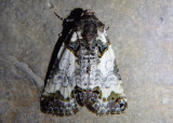 9062 - Cerma cerintha; Tufted Bird-dropping Moth