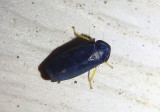 Limotettix anthracinus; Leafhopper species