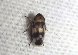 Anoscopus serratulae; Leafhopper species; male; exotic